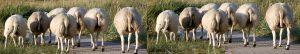 Seven Sheep